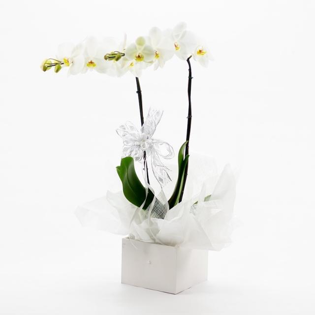 Vaso Orquídeas 02 hastes Branca